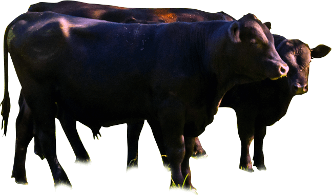 River Jordan Farm, LLC - Natural Wagyu Beef> </div>       <!--close cow-->        <div class=
