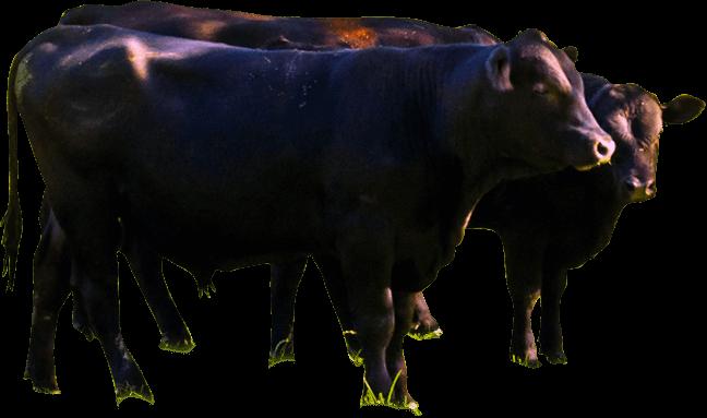 River Jordan Farm, LLC - Natural Wagyu Beef> </div>       <!--close cow-->        <div class=