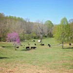 River Jordan Farm - Virginia Waguy Beef Cattle